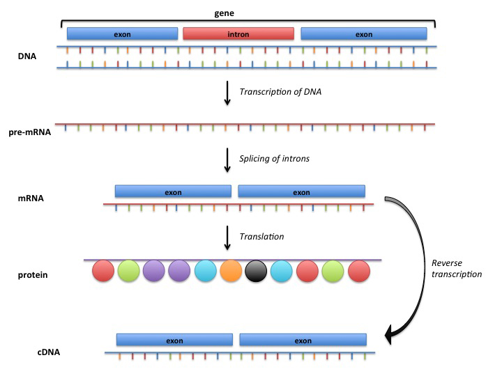 From DNA to cDNA