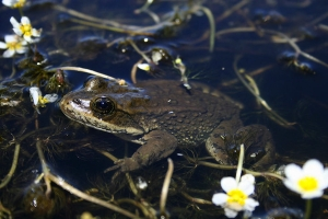 Natural History Museum Spotlights Plight Facing Utah Frogs